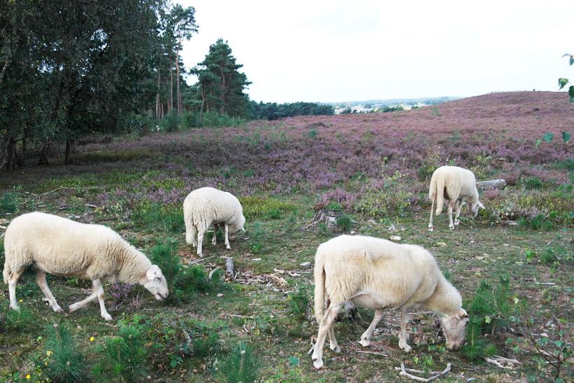 lemelerberg-heide-schapen