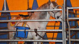 circus-renz-paarden