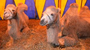 natuurlijk-ommen-kamelen