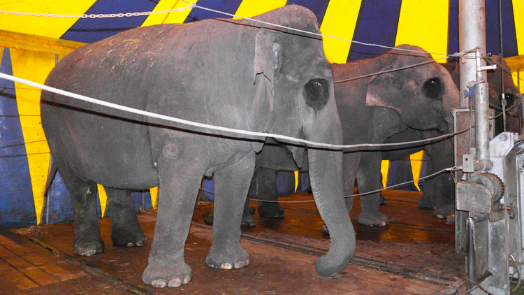 olifanten-ommen-circus-renz