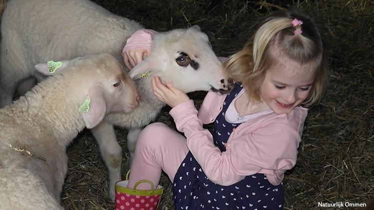 Lammetjes in Ommen worden vertroeteld