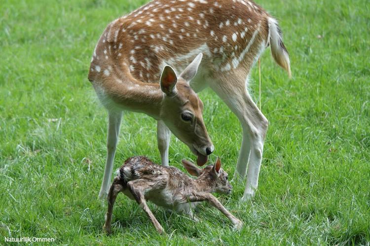 Geboorte damhert kalfje