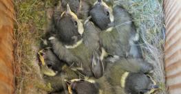 Een nest met jonge koolmezen